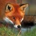 fox533